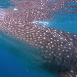 马尼拉游记图文-板凳东南亚之- 菲律宾杜马盖地&锡基霍尔与鲨鱼同游