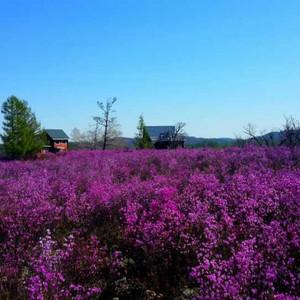 扎兰屯游记图文-2014《呼伦贝尔大草原》——我的五月杜鹃花之旅