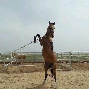 土库曼斯坦游记图文-内蒙古太仆寺旗御马苑旅游区的汗血宝马展示