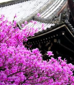 [太空游游Ctrip星球游记图片] 樱花大赏,国内春日樱花游
