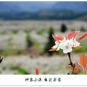 光泽游记图文-【福建光泽】神密小镇,出彩梨园(赏花攻略)