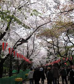 [东京游记图片] 日本赏樱季——本州6日行