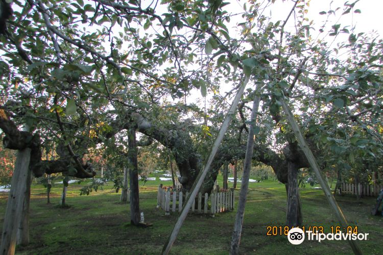 Oldest Apple Tree in Japan3