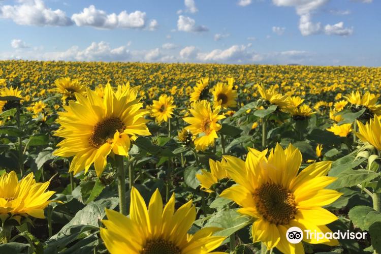 Ozora-cho Sunflower Farm3