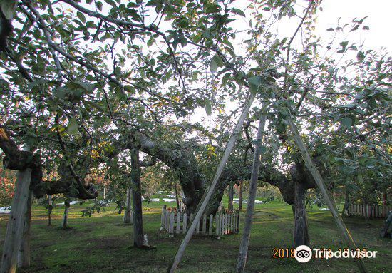 Oldest Apple Tree in Japan2