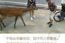 奈良喂鹿 刚开始还有些害怕 公园街景 鹿还是很听话的 亲密接触