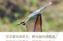 北海.栗喉蜂虎 北海不光有银滩 还有栗喉蜂虎 一种很美的候鸟 它们每年三四月 飞来北海 金海湾红树林